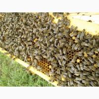 Продам Бджіл Карпатської породи : Бджолопакети, Бджоломаток плідних маток. Закарпаття